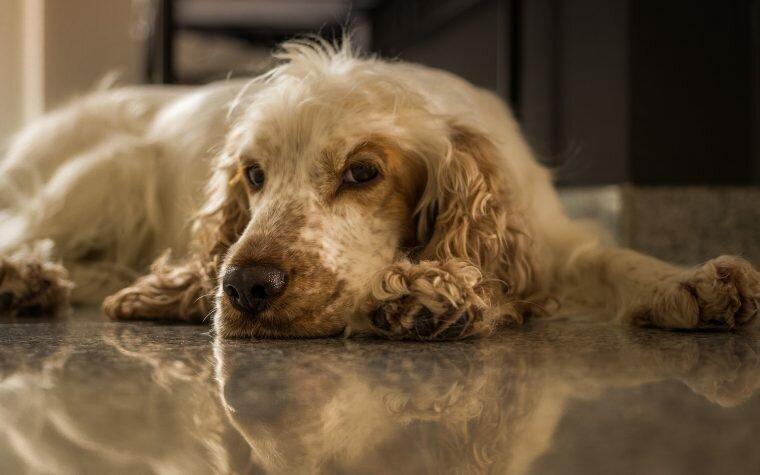 Otite nel cane: sintomi e cura dettagliata per un trattamento infallibile.