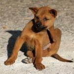 Pulci del cane: Come riconoscerle? Cosa fare se il cane ha le pulci?